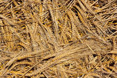 Cereal wheat spikes pattern background — Stock Photo