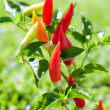 Chili hot peppers plant in red and orange — Stock Photo #6998848