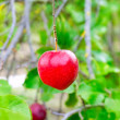 Apple red hanging from tree branch - Stock Photo
