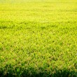 Cereal rice fields with ripe spikes - Foto Stock