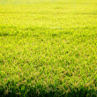 Cereal rice fields with ripe spikes - Stock Photo