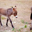 Baby donkey mule with mother — Stock Photo