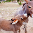 Baby donkey mule with mother - Stock Photo
