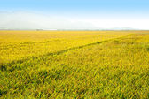 Cereal rice fields with ripe spikes in Valencia — Stock Photo