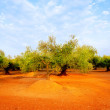 Olive tree fields in red soil in Spain — Stock Photo