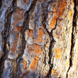 Bark of pine tree trunk texture - Stock Photo