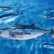 Albacore Thunnus alalunga fish and bluefin tuna - Stock Photo