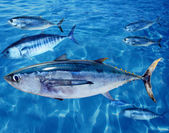 Albacore Thunnus alalunga fish and bluefin tuna — Stock Photo