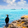 Cormoran bird in formentera rocks near La Savina — Stock Photo