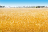 Formentera wheat fields in Balearic islands — Stock Photo