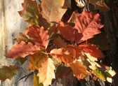 Colored Oak Leaves — Stock Photo