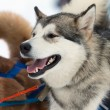 Gray dog ​​in harness — Stockfoto #7374800