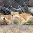 Lions on the nature — Stock Photo