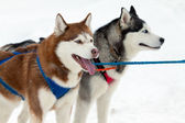 Sled dogs with blue eyes — Stock Photo