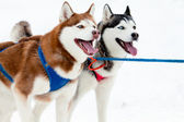 Pair of sled dogs — Stock Photo