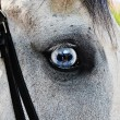Stock Photo: Beautiful white horse with blue eyes