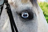 Beautiful white horse with blue eyes — Stock Photo