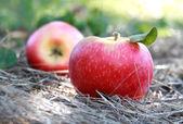 Frische äpfel — Stockfoto