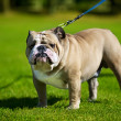 English Bulldog — Stock Photo #6998014