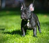 フレンチ ブルドッグ子犬 — ストック写真