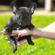 French bulldog puppy — Foto Stock