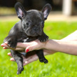 French bulldog puppy — Photo