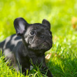 French bulldog puppy — 图库照片
