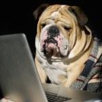bulldog triste en un plaid — Foto de Stock   #7403385