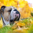 Bulldog in autumn — Stock Photo #7403621