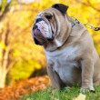 Bulldog in autumn — Stock Photo