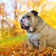 Stock Photo: Bulldog in autumn
