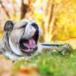 Bulldog in autumn — Stock Photo #7465516