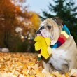 Bulldog in autumn — Stock Photo #7482598