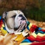 Bulldog in autumn — Stock Photo #7482694