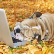 Bulldog with a laptop in autumn — Stock Photo