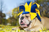 Bulldog in a hat — Stock Photo