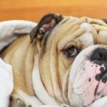 Bulldog sleeping on a bed — Stock Photo #7559343