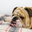 Bulldog on a plaid — Stock Photo #7571926