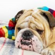 Bulldog in a scarf on bed — Stock Photo #7571929