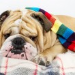 Bulldog in a scarf on bed — Stock Photo #7571937
