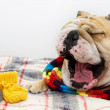 Bulldog in a scarf on bed — Stock Photo #7571941