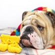 Bulldog in a scarf on bed — Stock Photo #7571943