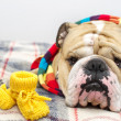 Bulldog in a scarf on bed — Stock Photo #7571948