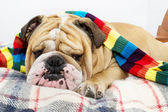 Bulldog in a scarf on bed — Stock Photo