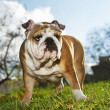 English bulldog puppy — Stock Photo #7581291