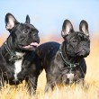 Two French Bulldogs - Stock Photo