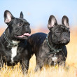 Stock Photo: Two French Bulldogs