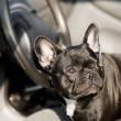 French Bulldog in a car — Stock Photo