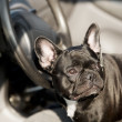 Royalty-Free Stock Photo: French Bulldog in a car