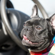 Stock Photo: French Bulldog in car